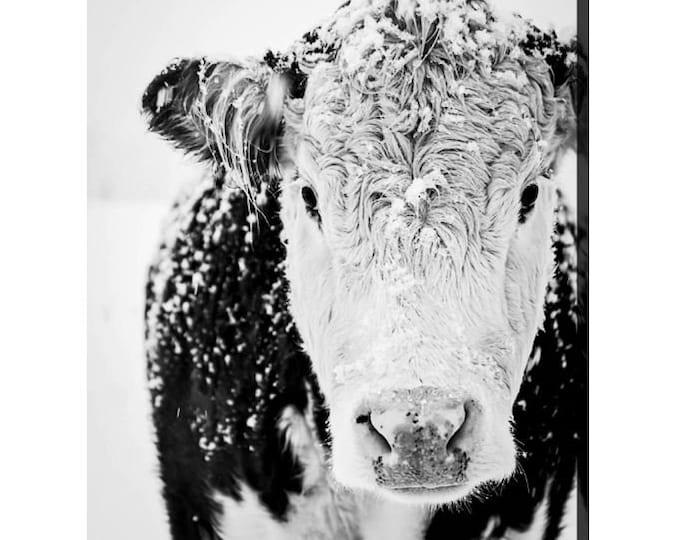 Snowy Cow Canvas