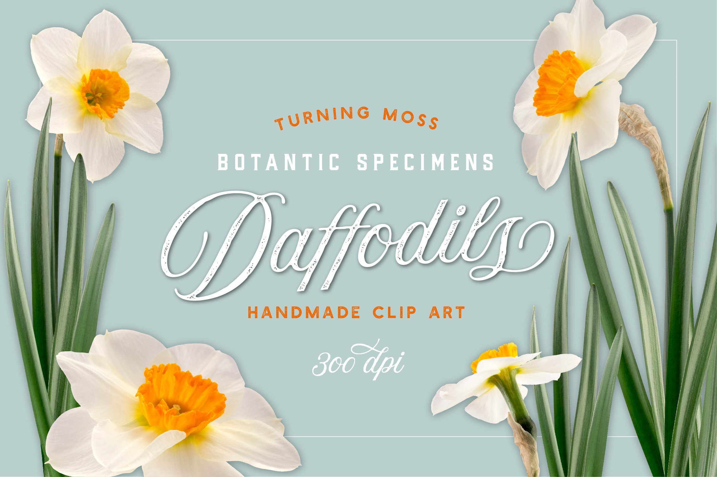 Daffodil Clipart Realistic Floral Clipart Isolated Spring Etsy