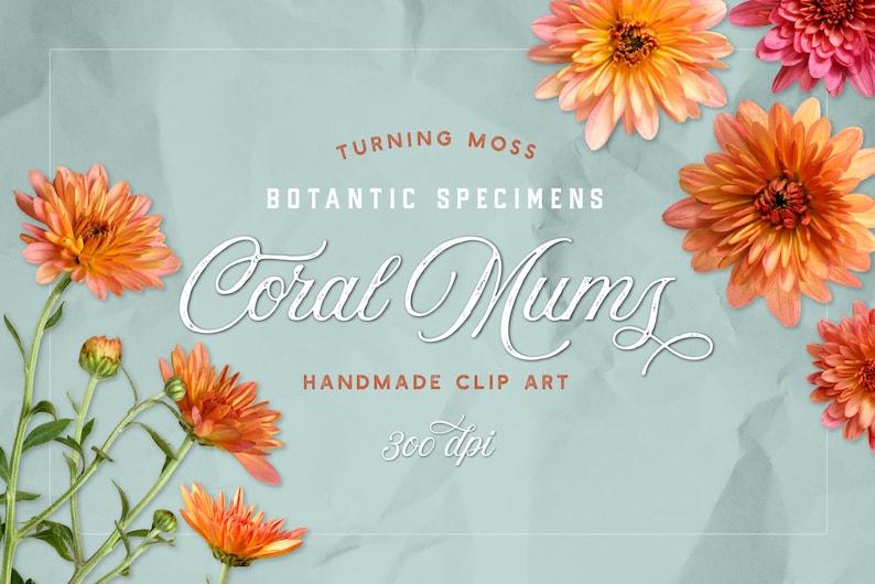 Coral Mums  Digital Flowers  Chrysanthemum Floral ClipArt  image 0