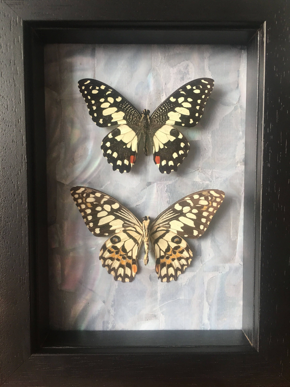 Gerahmte paar Kalk Schwalbenschwanz Schmetterlinge