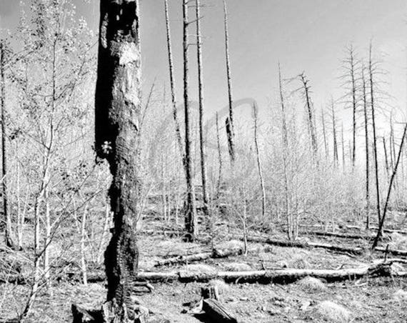 Hayman Fire Burn Scar  - Black and White Forest