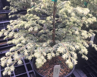 Tsuga canadensis 'Moonfrost'