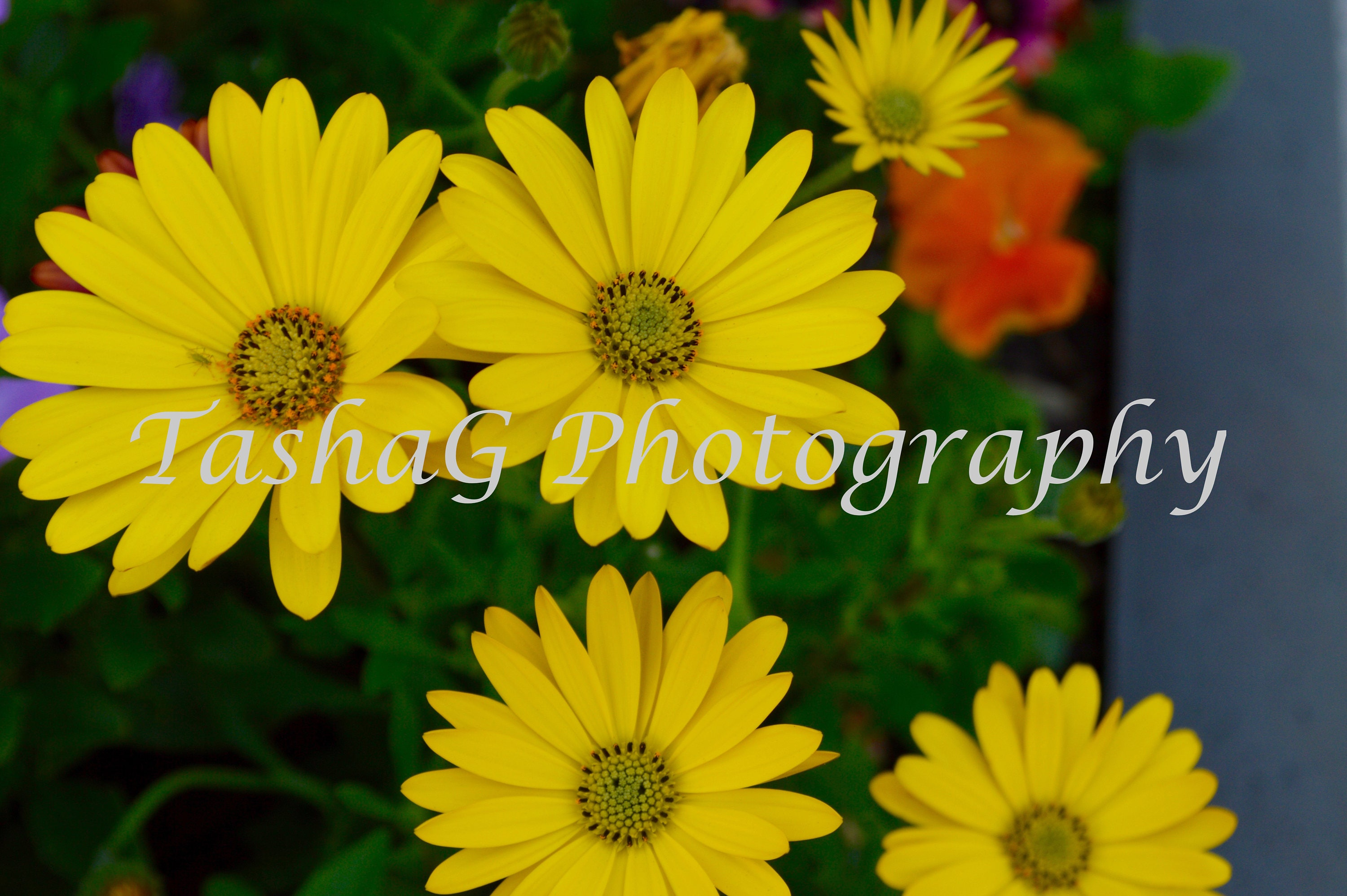 Yellow Daisies Flowers Nature Photography Print Or Canvas