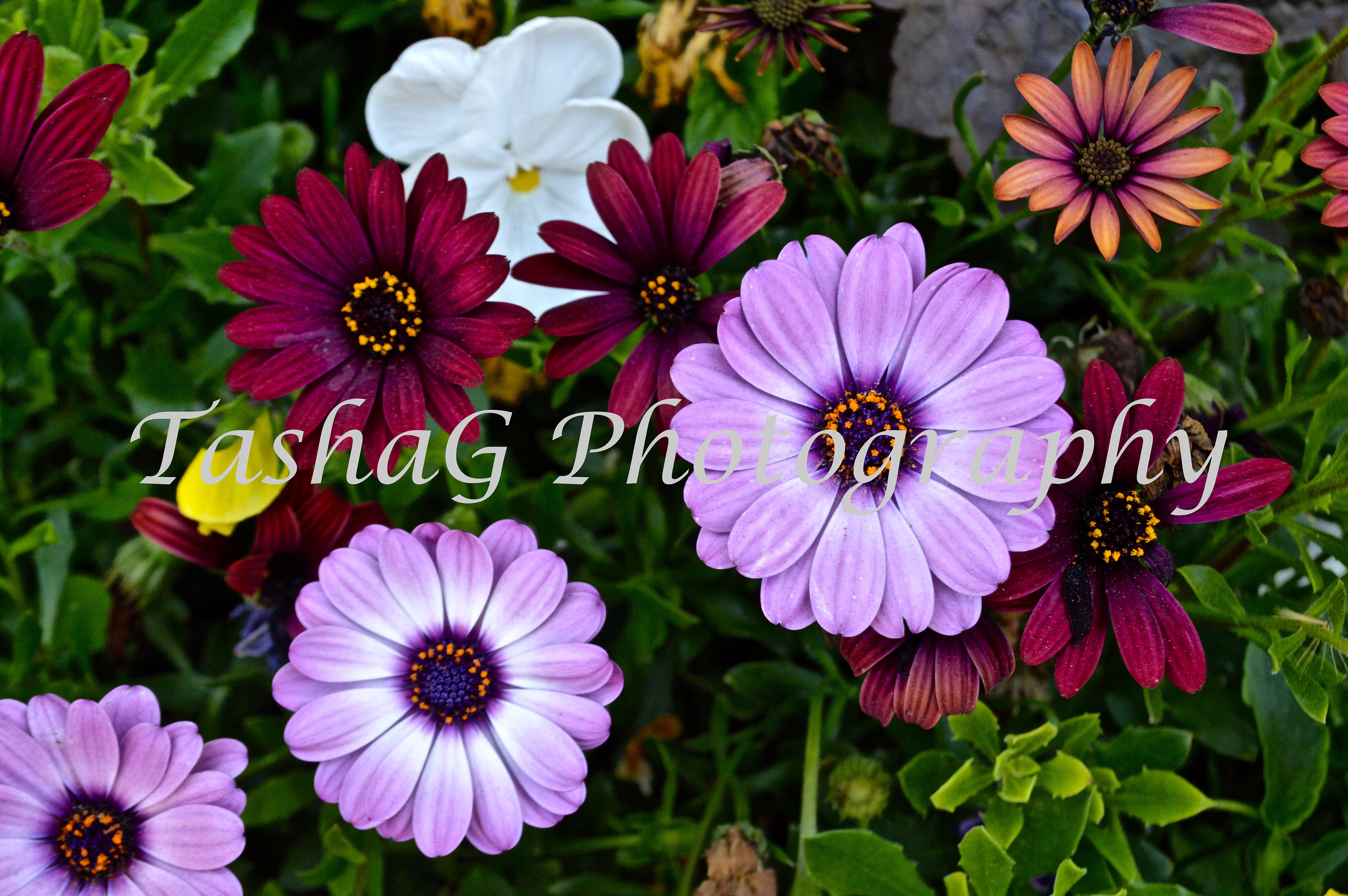 Mixed african daisies flowers nature photography print or etsy zoom izmirmasajfo