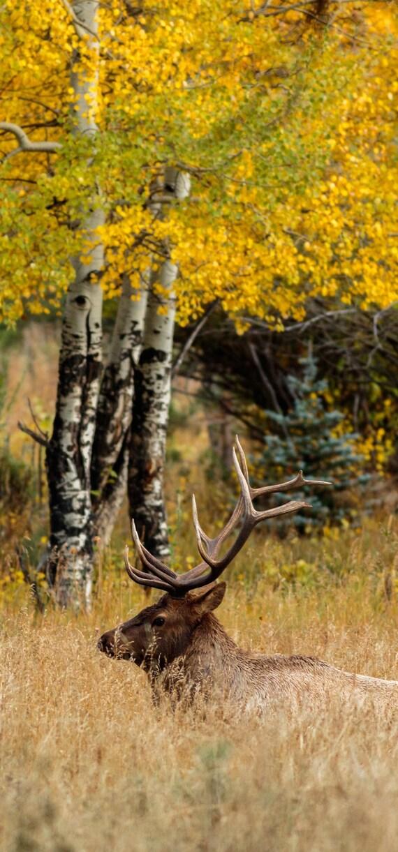 Bull Elk Autumn Wallpaper Iphone X Iphone Xs Instant Download