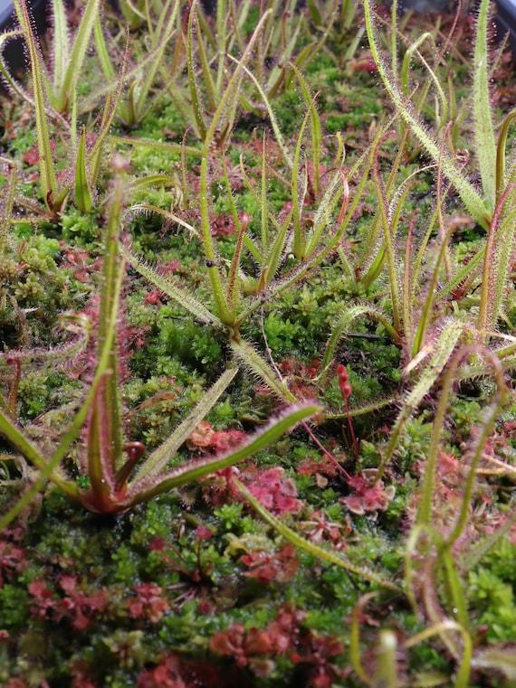 Drosera Regia Seeds King Sundew South Africa Carnivorous Plant