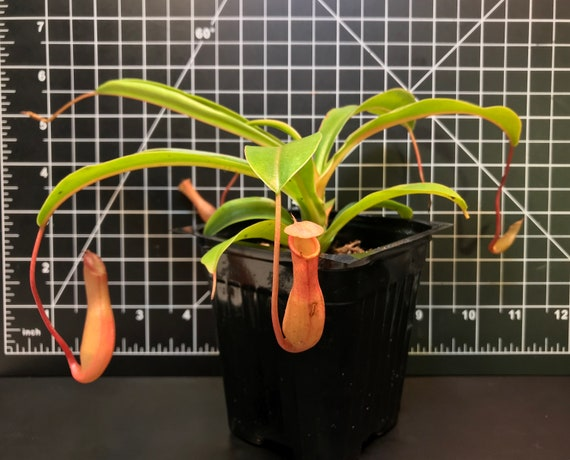 "Sarracenia Carnivorous Gift Mature Holiday 3/"" Pot Nice Large Pitcher Plant"