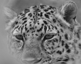leopard, wildcat, black & white, closeup, printed/mounted on wood