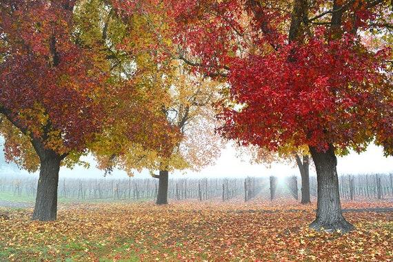 Sonoma County California Fall Fall Leaves Trees Vineyard Etsy