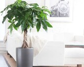 5 fresh seeds money tree pachira aquatica malabar chestnut home garden lucky plant