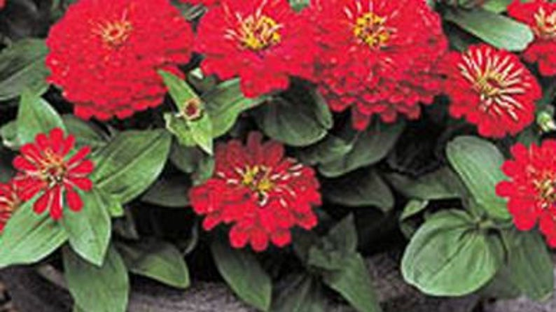 Zinnia Dreamland Red Fully Double Flower 50 Seeds Dwarf Etsy