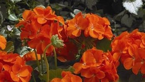 Geranium maverick orange perennial flower 10 seeds bright etsy image 0 mightylinksfo