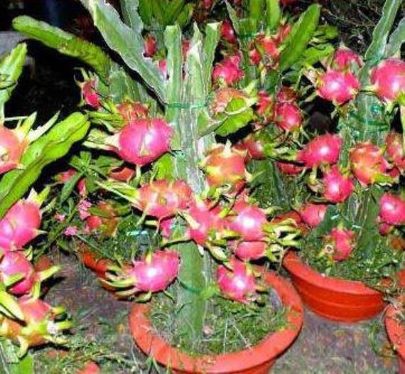 Hainan Pink Pitaya Dragon Fruit Cactus Plant 100 Seeds Bonsai Etsy