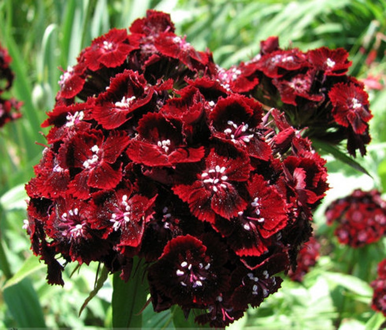 9c8c9430e8fa 200 frersh Seeds Heirloom Dianthus Dark Red Sweet William