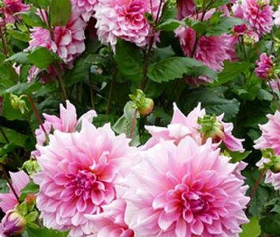 50 Fresh Seeds Pink Red Dahlia Flowers Perennial Big Blooming Etsy
