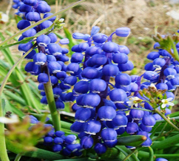 Rare blue flower goddess lily of the valley convallaria etsy image 0 mightylinksfo