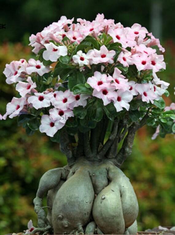 Heirloom pink desert rose adenium with yellow eye 2 seeds etsy image 0 mightylinksfo