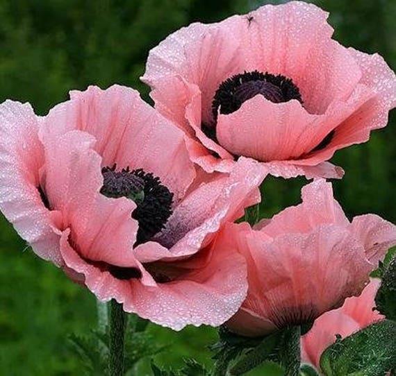 Rare beautiful perennial pink poppy flowers with black eyes etsy image 0 mightylinksfo