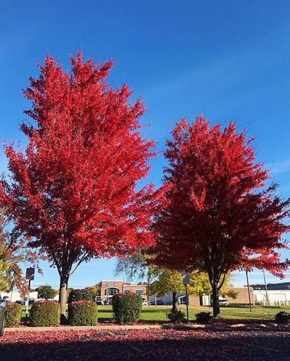 20 Seeds Autumn Blaze Red Maple Tree Clearly Superior Tree Etsy
