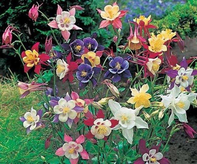 Rare Garden Columbine Aquilegia 100 Seeds Pack Perennial Etsy