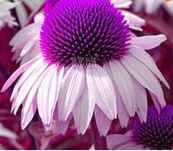 Echinacea White Petals Purple Centre Perennial Flower 30 Etsy