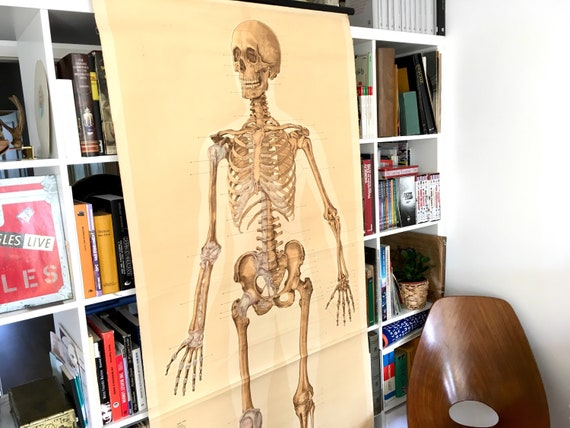 Skeleton pull down chart 50s large anatomy poster medical wall   Etsy