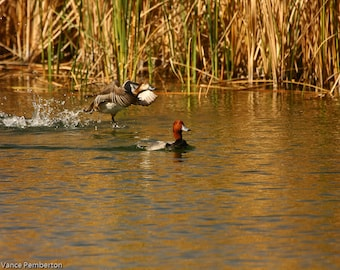 Duck Photography-Bird Photography-Wildlife-Home Decor-Animal-Art and Collectibles