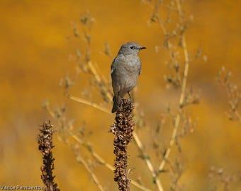 Mountain BlueBird Photography-Nature Photography-WildLife Photography-Home Decor-Art