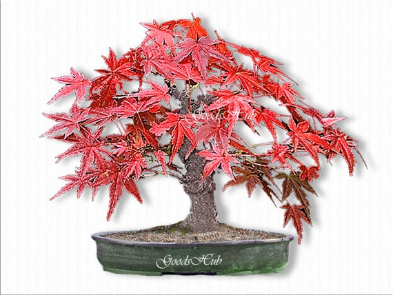 Japanese Red Maple Seeds Bonsai Tree Seed Beautiful Rare Etsy