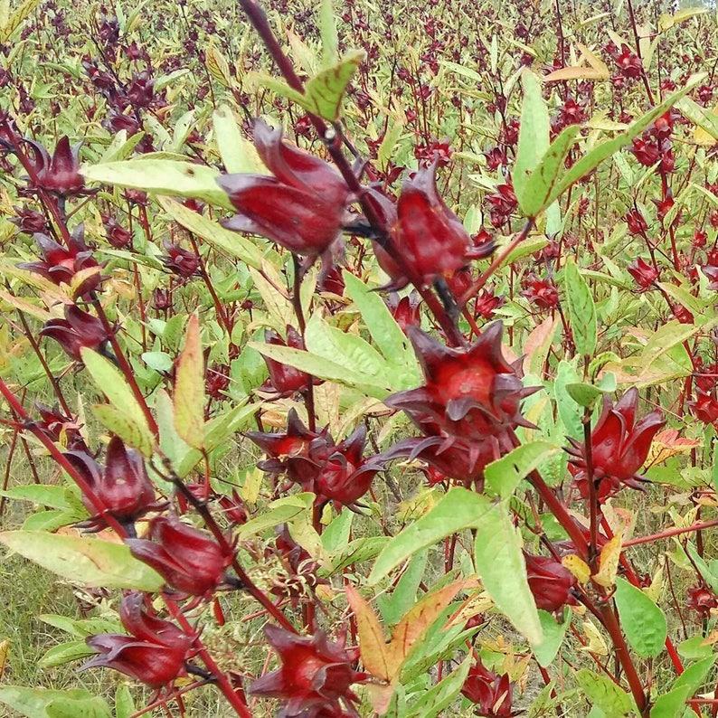 Roselle Seeds Hibiscus Sabdariffa Herb Jamaica Sorrel Red Etsy