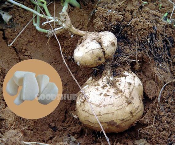 Jicama Yam bean  45  seeds 20 seeds Heirloom Thai seeds