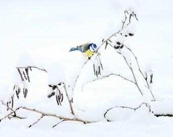 Fine art photography print, nature photography, sweden, bird photography, bird print, blue tit, wall decor print, snow print