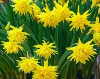 Rip Van Winkle Daffodil - 4 bulbs