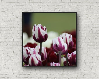 White and Purple Tulips - Fine Art Photography - Flowers - Pop of Color - Tulip Festival - Instant Download - Spring Art - Skagit Valley