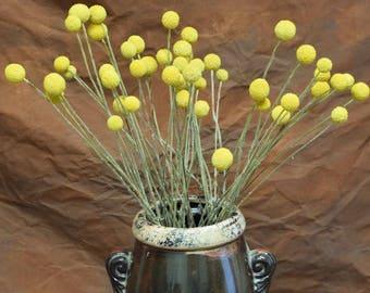 Dried Caspedia | Dried Billy Balls | Dried Flowers | Yellow Flowers