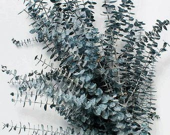 Preserved Blue Eucalyptus | Dried Eucalyptus | Blue Flowers | Eucalyptus
