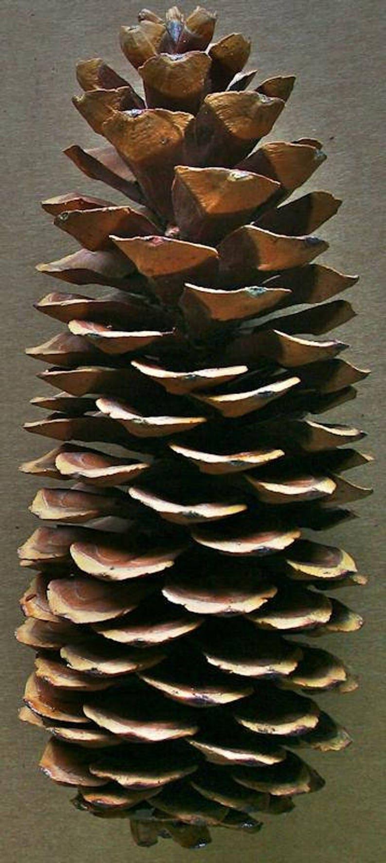Sugar Pine Cones  Large Pine Cones  Extra Large Pine Cones  image 0