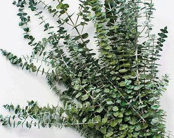 Preserved Kiwi Green Eucalyptus | Dried Eucalyptus | Kiwi Green Flowers | Eucalyptus