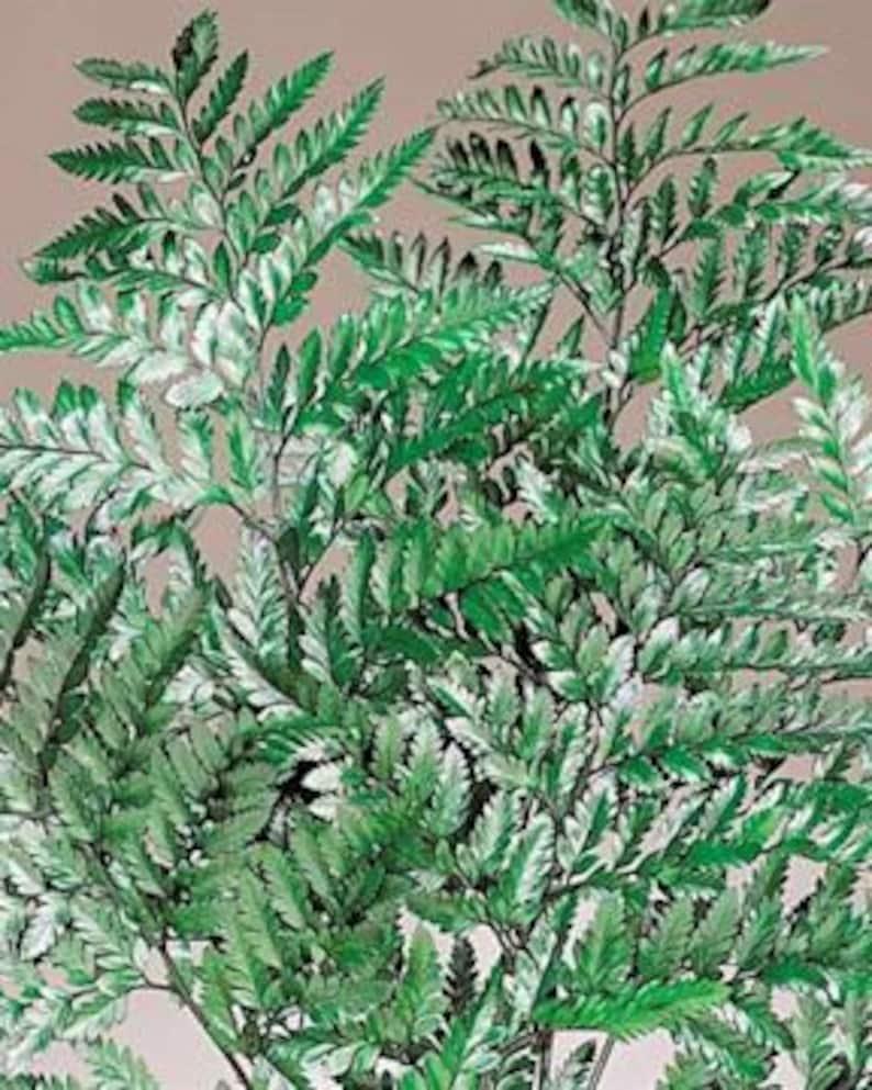 Rumohra Adiantiformis