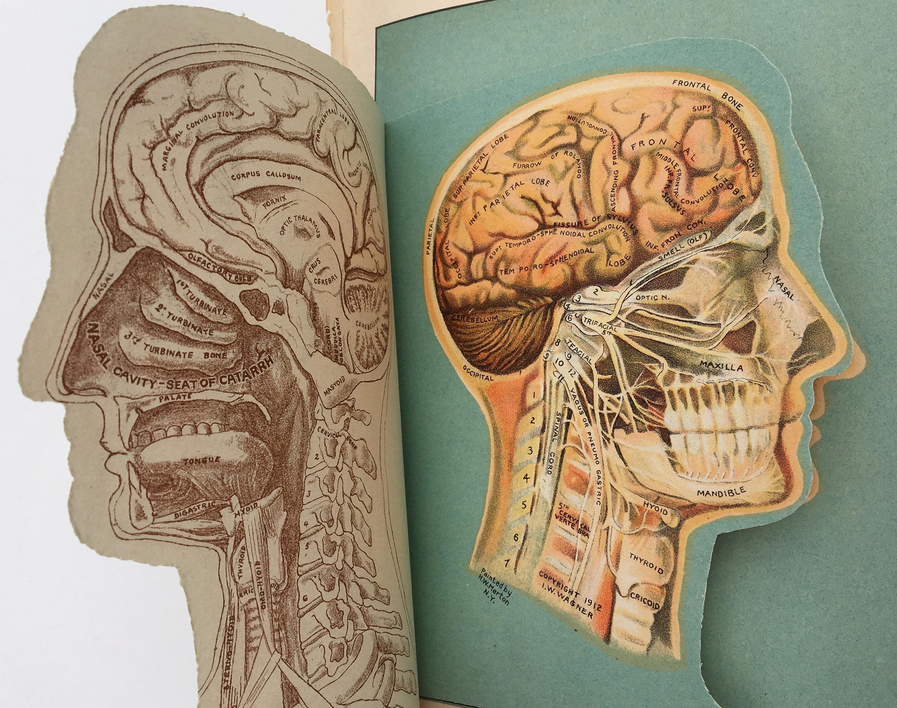 Color Lithograph Human Head Anatomy Cross Sections Etsy