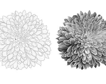 Chrysanthemum colouring template - Outlines with greyscale version