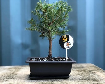 Give The Special Gift Of Bonsai By Thebonsaisupplystore On Etsy