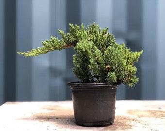 Juniper Pre Bonsai Tree