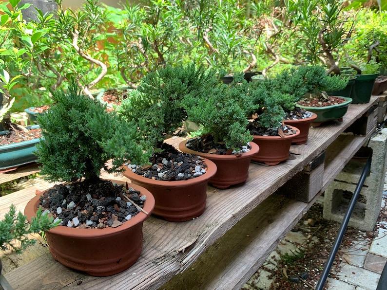Juniper Bonsai Tree Bonsai gift Wedding favors