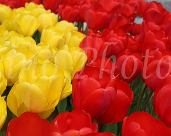 Tulips Photography, Instant Download, Fine Art Photography, Stock photo