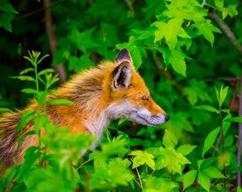 Fox Contented