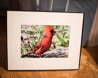 Male Cardinal 5x7 photo in 8x10 frame #1