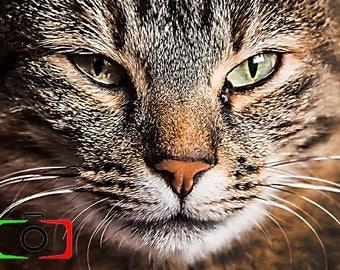 Cat, Feline, Photography, Portrait, Picture, Art Decor, Animal