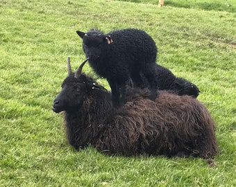 Hebridean Lambs Wool Aran Weight 100g Limited Edition