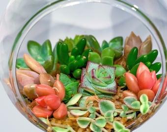 Medium Terrarium Bauble (9 different succulent varieties)